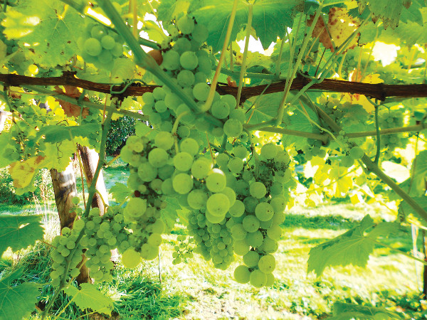 Silver Medal for Local Vineyard