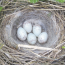 A linnet's nest with eggs. Linnets were common hedgerow nesting birds but are now on the RSPB Red List of endangered species.
