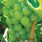 Grapes protect against ultraviolet radiation