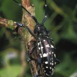 Public asked to watch for beetle threat to trees and shrubs